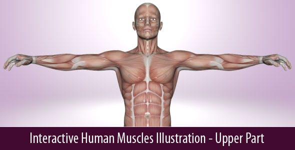 Interactive Human Muscles Illustration