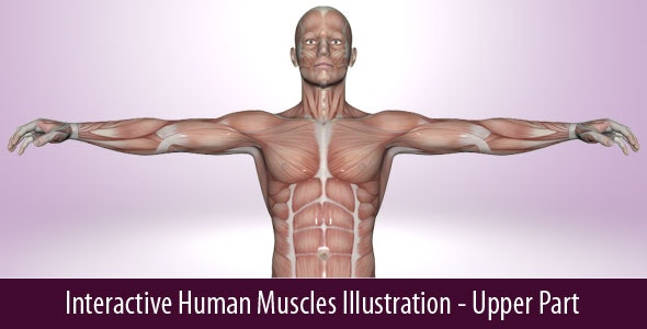 Interactive Human Muscles Illustration - CodeCanyon Item for Sale